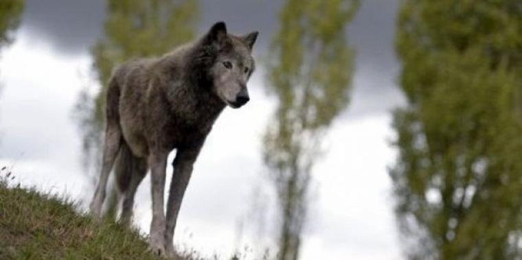 « Ce qui rend si agréable la société du loup, c'est la transparence de son être. Le loup est transparent comme le verre. S'il n'y avait pas de loups, je n'aimerais pas vivre. »