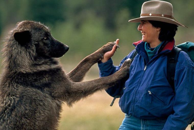 Un couple a vécu 6 ans avec des loups pour changer notre vision sur eux