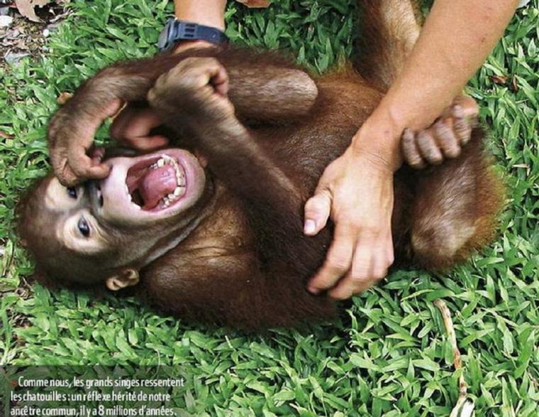 Les animaux sont-ils chatouilleux ???  Chatouiller les animaux, un bon moyen pour étudier l'évolution du rire   Des scientifiques ont utilisé un moyen original pour étudier l'évolution du rire chez les espèces animales. Ils ont écouté les rires de différents animaux, gorille, dauphin ou encore rat en... les chatouillant