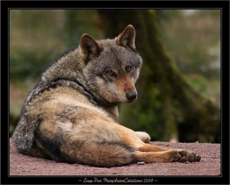 La louve de Yellowstone