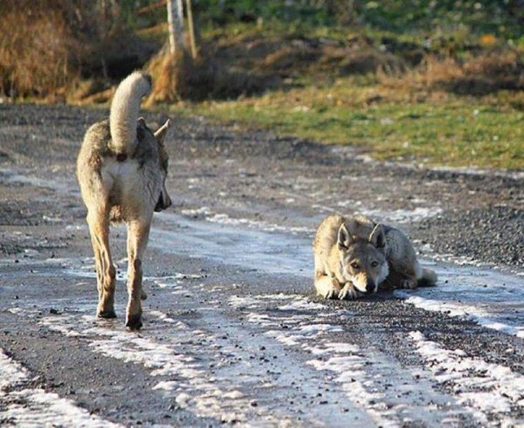 le comportement du loup en captivité et l'implication du facteur social dans les comportements individuels des loups gris en meute