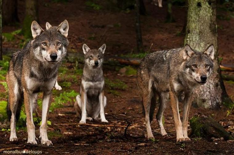 C'est quoi un loup ????