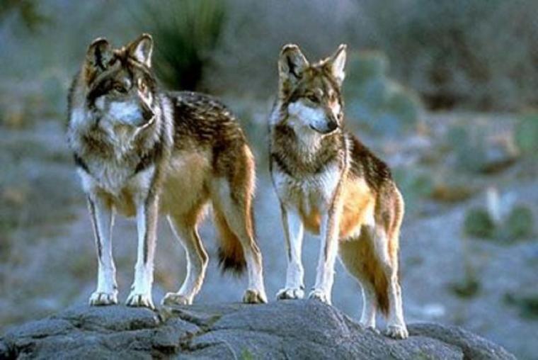 Loup des montagnes Mogollon (Canis lupus mogollonensis)