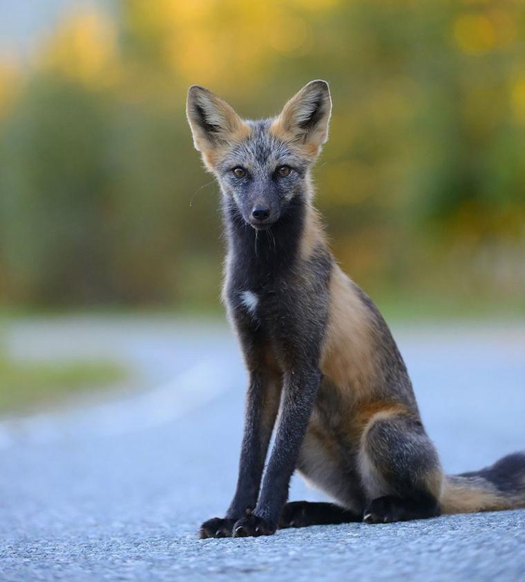 Le Renard animal à protéger comme le Loup :  7 des plus belles espèces de renards à travers le monde