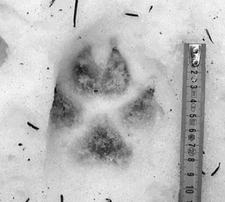 Indices de présence du loup