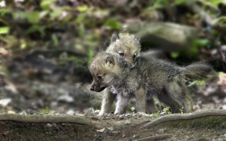 Les Loups: Des animaux complexes aux avantages complexes :