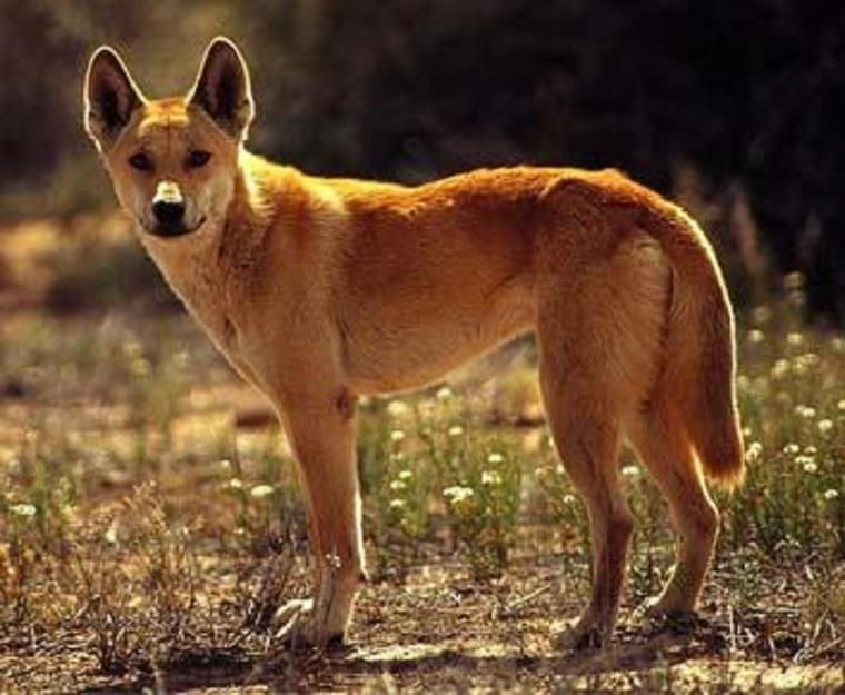 Le Dingo encore une espèce menacée de disparaitre