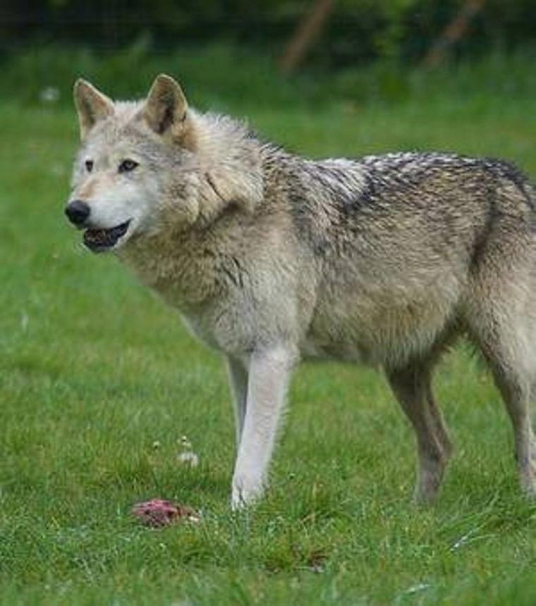 JE NE CESSERAIS de dire et de crier voir même à le hurler !!! que tout animal ou végétation est utile à votre survie !!! incroyable ce que ces loups ont apporté à Yellowstone   Sans loups l'humanité s'en va au désastre !!!!!!!!!!!!!!!