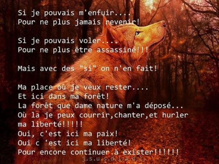 Le loup plus intelligent que l'homme