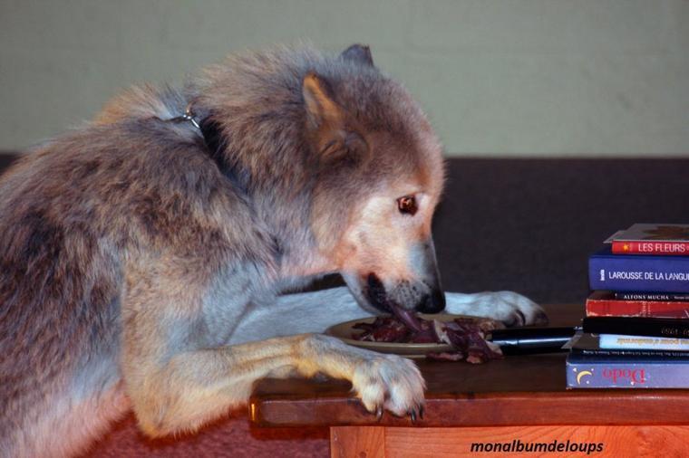 Une étude génétique montre que, à la différence du loup, le chien a la capacité de digérer l'amidon.