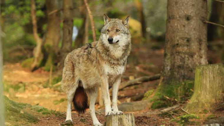 Après la Révolution, le loup ne put lutter face à l'homme.