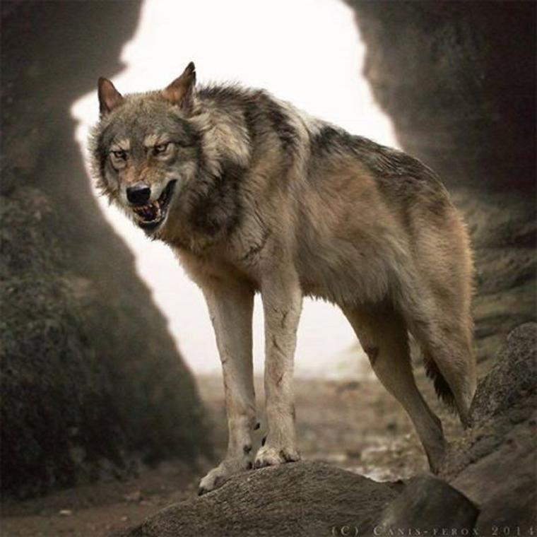 """Le monde selon les loups  """" article de  One Voice que j'ai trouvé sublime je vous le fais découvrir """" Tel est le monde selon les loups, fait de courage, d'amour et de beauté :"""