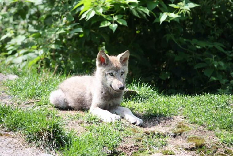"""Il était une fois """" des ptits loups en forêt """""""