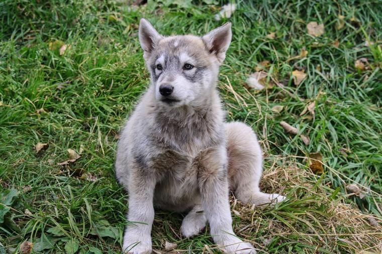 Pourquoi il est impossible de domestiquer un loup