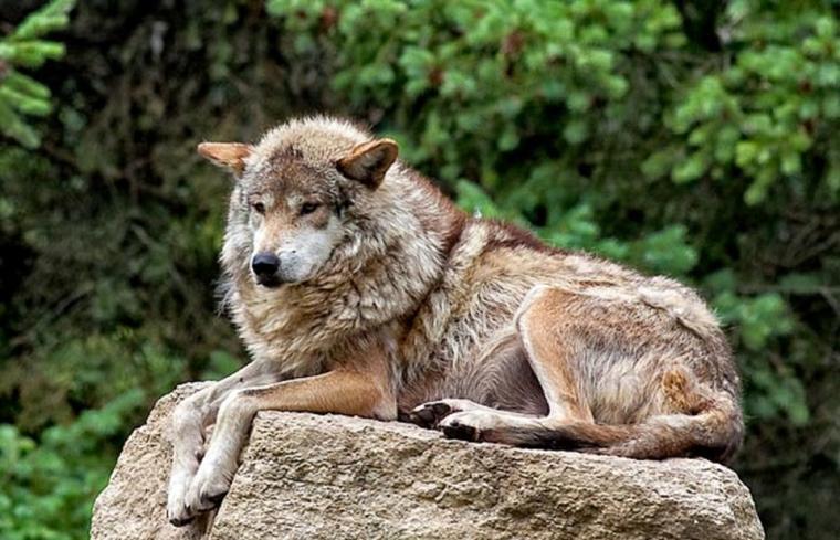 Pour débuter la semaine Le Mexique parlons du loup rouge :