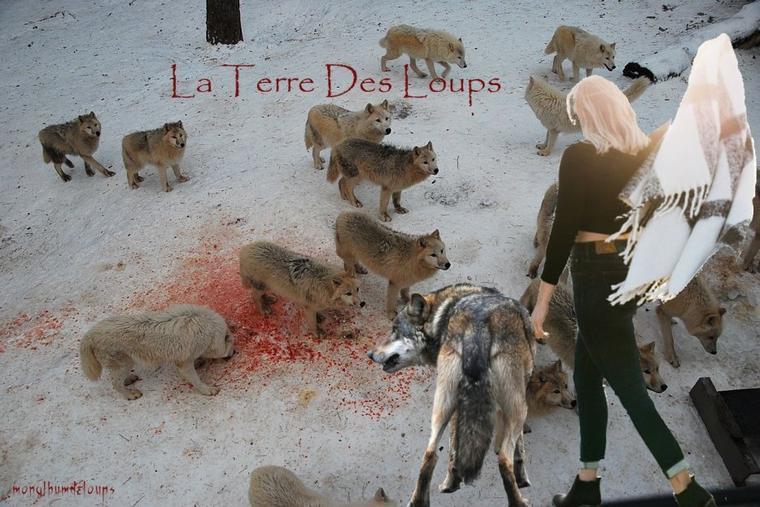 """Deux loups """"permanents"""" dans les Pyrénées-Orientales le 24 aout 2016"""