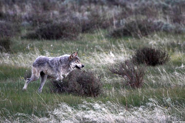 Parc national de Yellowstone  le paradis des animaux sauvages  l'un des derniers grands écosystèmes intacts de la zone tempérée de l'hémisphère Nord. Toute la flore peut y progresser par succession naturelle sans qu'aucune intervention directe n'y soit pratiquée.