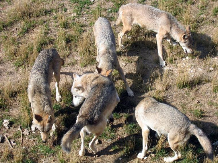Les loups adultes utilisent le jeu pour renforcer leur dominance sur les louveteaux