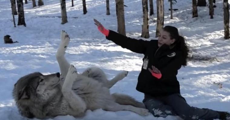 Entre ce loup et cette femme, il existe une relation indescriptible. Il suffit de regarder ce qui se passe lorsqu'ils sont ensemble !!!
