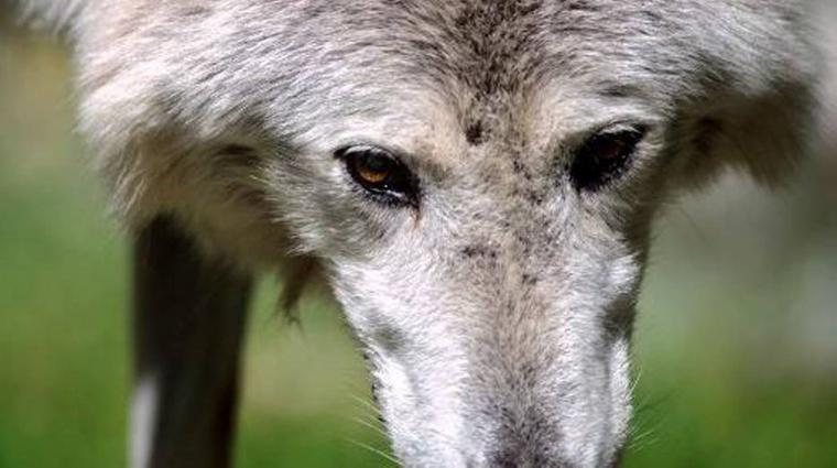 La guerre du loup gagne l'Italie   merci pour venir en aide aux loups d'italie et de signer la pétition via le lien faut stopper ce génocide de la faune sauvage !!!!!!!!!!!!!! l'humain ne pense qu'a la détruire pour s'enrichir mais il n'a vraiment pas conscient qu'il est entrain de se détruire par lui même !!!!!!!!!!!!!!!  l'animal sauvage est un régulateur de l'écosystème !!!!!!!!!!!!!!!!  merci du fond du coeur de signer pour sauver les loups !!!!!!!!!!!!!!!