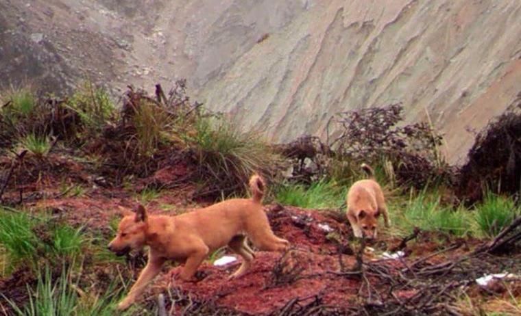 On le croyait disparu, le chien sauvage de Nouvelle-Guinée vient d'être observé un demi-siècle plus tard...