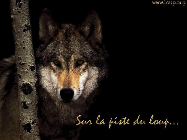 « Le paradoxe de la modernité, c'est le retour du sauvage » Sur la piste du loup :