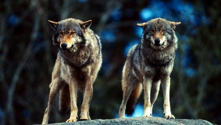 Jamais l'homme n'aurait eu peur du loup s'il n'avait changé progressivement, au départ du néolithique, son mode de vie naturel...