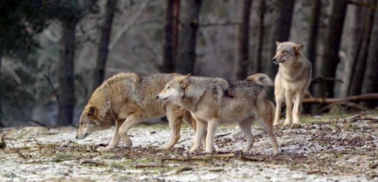 De l'utilité des loups