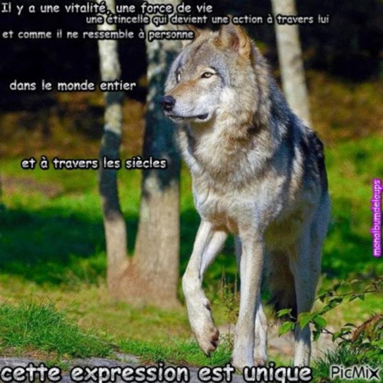 La situation en France Le loup n'a pas de prédateur naturel. Mais un prédateur redoutable s'est imposé à l'espèce : l'homme, qui a une malheureuse tendance à le persécuter...