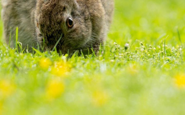 Espèces menacées : adieu vison, lapin et campagnol.....