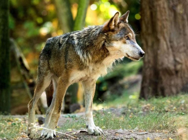 Le loup à la reconquête de l'Europe....