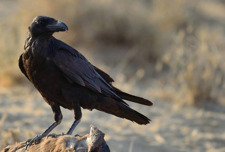 9 choses fascinantes et méconnues à savoir sur les corbeaux, ces magnifiques oiseaux qui souffrent malheureusement d'une mauvaise réputation...