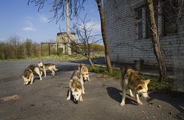 sans la présence de l'humain 30 ans après la catastrophe nucléaire, la faune sauvage est plus florissante que jamais à Tchernobyl ......