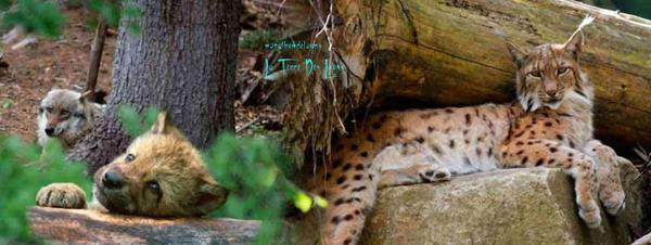 Rare rencontre entre un lynx et un loup, bonne nouvelle pour la vie sauvage en Europe....