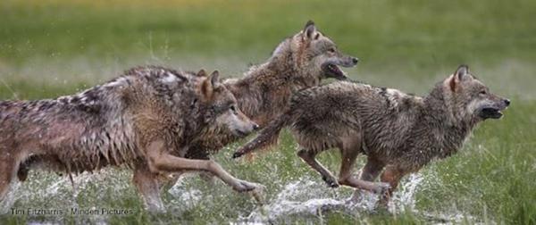 Costa Rica : Jaguar et loup, même combat...