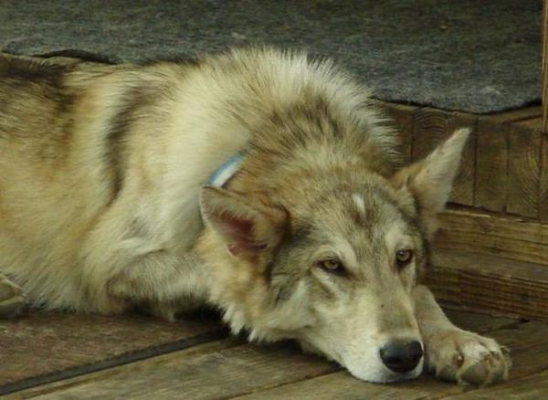 Comment posséder un loup  ou hybride de compagnie... Avez-vous envie d'avoir un loup en tant qu'animal de compagnie ? Ou bien un hybride de chien croisé avec un loup ? Ils peuvent faire d'excellents animaux de compagnie, mais seulement avec beaucoup de soins et de connaissances de l'animal. Avant de vous procurer un loup ou un chien croisé avec un loup, faites des recherches et assurez-vous de comprendre tout ce qu'implique la possession de tels animaux...