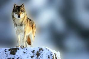 BLOG EN PAUSE A PARTIR DE LUNDI POUR 2 JOURS ...L'importance du loup dans l'écosystème, nous avons besoin du loup pour réguler les folies des humains  !!!  Quand on retire le superprédateur, c'est tout l'écosystème qui est perturbé. Selon une étude récente, ces perturbations peuvent avoir des conséquences bien plus larges que ce qu'on imaginait. Ou quand l'Homme est l'arroseur arrosé...