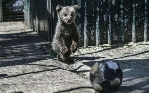 Dans le nord de la Grèce, un refuge pour ours et loups traumatisés...