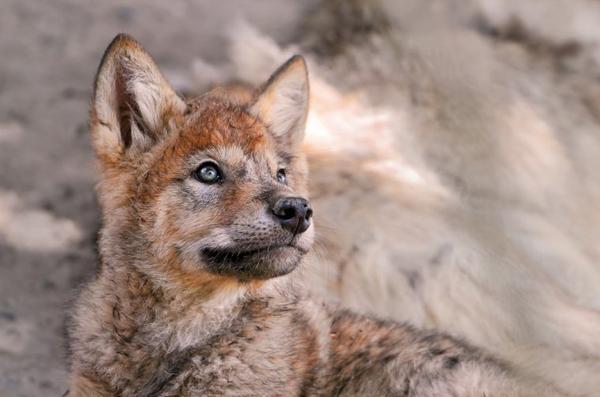 La Terre Des Loups vous souhaite un bon Halloween suivie de Entre chien et humain : tout est dans la durée du regard !!!