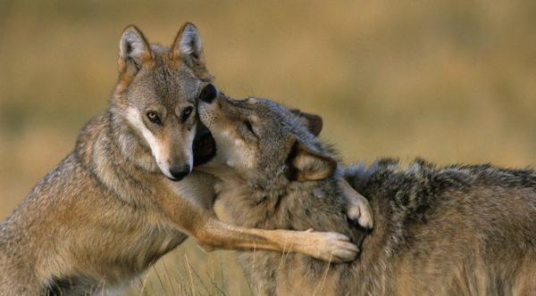 Curieux et réfléchit, le loup n'est pas si dangereux...