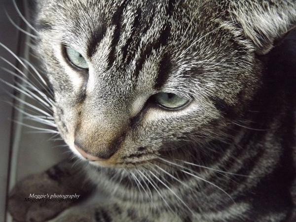 Photographie pour concours  thèmes  Animaux [ Mon chat Tigré :) ]