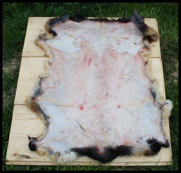 Tannage d'une peau de lapin
