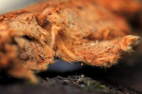 L'amadouvier (champignon)