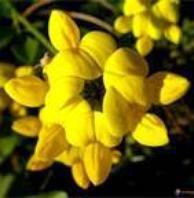 lotier corniculé