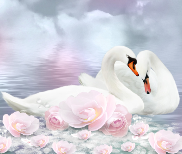 Cygnes de romance.