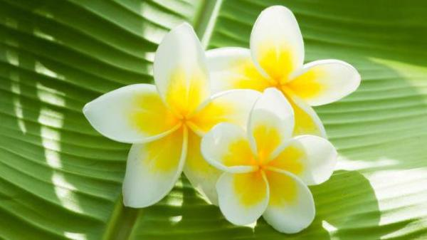 Belles fleurs des îles.