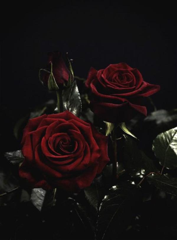 Quelques roses du Prince Ezequiel.