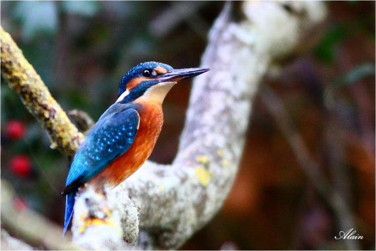 899 - L'oiseau bleu.