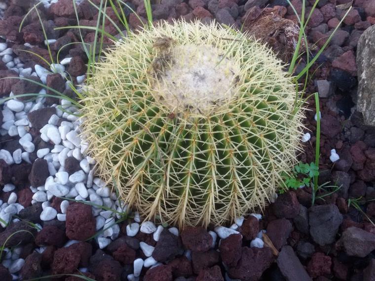 Des cactus à Saint-Mandrier.