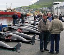 Îles Féroé: Sea Shepherd documente le massacre des globicéphales